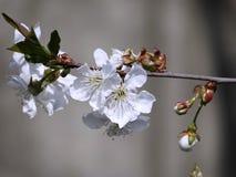Wiosna bacground biel gałęziasty czereśniowy makro- Delikatni wiśnia kwiaty obraz royalty free
