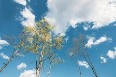 Wiosna baldachim Wysocy Młodzi drzewa słoneczny dzień Drzewo górne gałąź Zdjęcia Stock