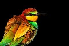 Wiosna barwiony ptak odizolowywający na czarnym tle Fotografia Stock