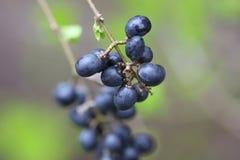 wiosna berry odpadów fotografia royalty free