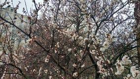Wiosna biały kwiat na gałąź cityscape Morelowy kwitnienie zdjęcia royalty free