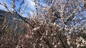 Wiosna biały kwiat na gałąź cityscape Morelowy kwitnienie zdjęcie stock