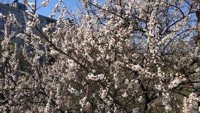 Wiosna biały kwiat na gałąź cityscape Morelowy kwitnienie zdjęcia stock