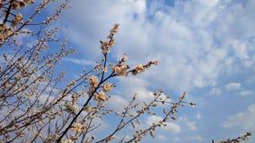Wiosna biały kwiat na gałąź cityscape Morelowy kwitnienie obrazy stock