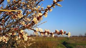Wiosna biały kwiat na gałąź cityscape Morelowy kwitnienie fotografia royalty free
