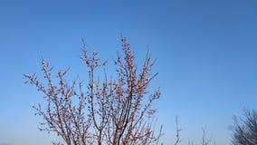 Wiosna biały kwiat na gałąź cityscape Morelowy kwitnienie obraz stock