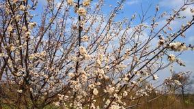 Wiosna biały kwiat na gałąź cityscape Morelowy kwitnienie obrazy royalty free