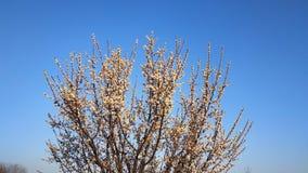 Wiosna biały kwiat na gałąź cityscape Morelowy kwitnienie fotografia stock