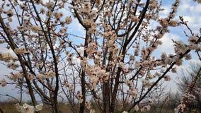 Wiosna biały kwiat na gałąź cityscape Morelowy kwitnienie zdjęcie royalty free