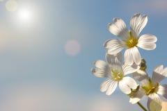 Wiosna biały kwiat na niebieskiego nieba tle, tapeta zdjęcie royalty free