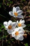 Wiosna biali krokusy kwitną na ciemnym tle zdjęcie stock