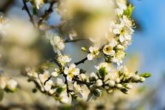 Wiosna biali kwiaty na jabłoni Zdjęcie Royalty Free