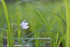 Wiosna biali kwiaty w traw fotografii starym obiektywie (Isopyrum thalictroides) Zdjęcia Stock