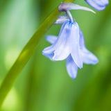 Wiosna Bluebell Zdjęcia Stock