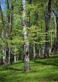 wiosna bukowi drzewa obrazy stock