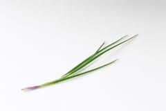 Wiosna Cebula zdjęcia royalty free