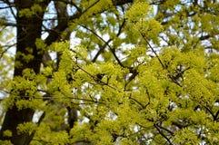 Wiosna czas… wzrastał liście, naturalny tło Fotografia Stock