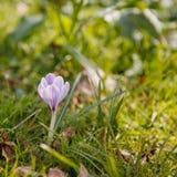 Wiosna czas, pierwszy kwiaty: krokus Zdjęcie Royalty Free