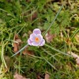 Wiosna czas, pierwszy kwiaty: krokus Zdjęcie Stock