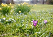 Wiosna czas, pierwszy kwiaty: krokusy i daffodils Zdjęcie Royalty Free
