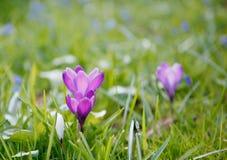 Wiosna czas, pierwszy kwiaty: krokusy Zdjęcia Royalty Free