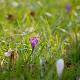 Wiosna czas, pierwszy kwiaty: krokusy, kwadrat Obraz Stock