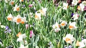 Wiosna czasu kwiat zdjęcie wideo