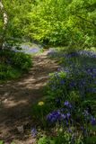 Wiosna czasu spacer w bluebell drewnie zdjęcia royalty free