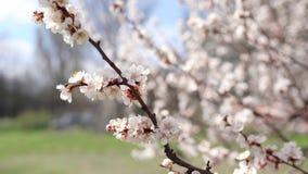 Wiosna czasu t?o Czereśniowego okwitnięcia drzewa, Różowi Sakura kwiaty obraz stock