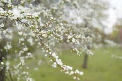 Wiosna czasu t?o Czere?niowego okwitni?cia drzewa, R??owi Sakura kwiaty obrazy royalty free