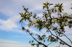 Wiosna Czereśniowy okwitnięcie przeciw niebieskiemu niebu Zdjęcia Royalty Free