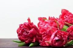 Wiosna czerwoni i różowi tulipany na białym tle Szeroka panoramiczna kwiecista granica zdjęcie royalty free