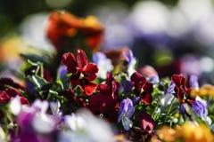 Wiosna: czerwony pierwiosnek w selekcyjnej ostrości wśród grupy mieszani barwioni kwiaty w bokeh zdjęcia royalty free