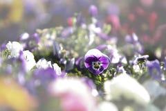 Wiosna: czerwony pierwiosnek w selekcyjnej ostrości wśród grupy mieszani barwioni kwiaty w bokeh fotografia royalty free