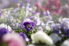 Wiosna: czerwony pierwiosnek w selekcyjnej ostrości wśród grupy mieszani barwioni kwiaty w bokeh obrazy stock