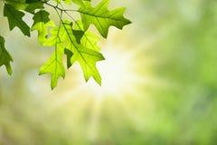 Wiosna dębu liście na gałąź przeciw Zielonemu Lasowemu baldachimowi obraz stock