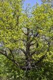 Wiosna dąb Obraz Stock