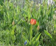 Wiosna deszcz mył budzi się kwiatu Maj jest czasem kwiecenie tulipany Zdjęcia Stock