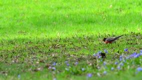 Wiosna dnia rudzik zbiory wideo