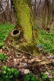 wiosna drewno Zdjęcie Royalty Free