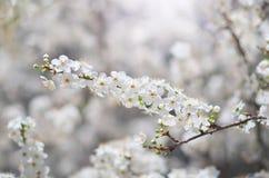 Wiosna drzewny kwiat obrazy royalty free