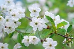 Wiosna drzewny kwiat Zdjęcie Stock
