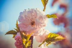 Wiosna duch: Makro- zbli?enie pi?knego Prunus triloba pi?kne menchie kwitnie z p?ytk? g??bi? fotografia stock