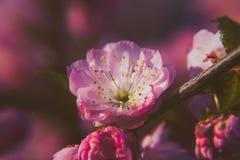 Wiosna duch: Makro- zbli?enie pi?knego Prunus triloba pi?kne menchie kwitnie z p?ytk? g??bi? zdjęcie stock