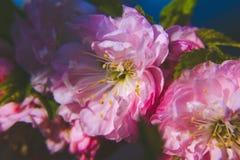 Wiosna duch: Makro- zbli?enie pi?knego Prunus triloba pi?kne menchie kwitnie z p?ytk? g??bi? zdjęcia stock