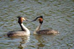 Wiosna: dwa perkoza w wodzie zdjęcie royalty free