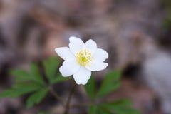 Wiosna dzicy kwiaty, drewniany anemon, windflower, Anemonowy nemorosa obrazy stock