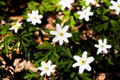 Wiosna dzicy kwiaty, drewniany anemon, windflower, Anemonowy nemorosa zdjęcia stock