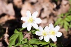 Wiosna dzicy kwiaty, drewniany anemon, windflower, Anemonowy nemorosa fotografia stock