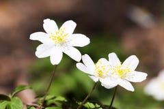 Wiosna dzicy kwiaty, drewniany anemon, windflower, Anemonowy nemorosa obrazy royalty free